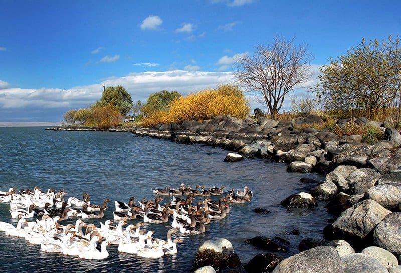 Kars Çıldır Gölü Kazlar